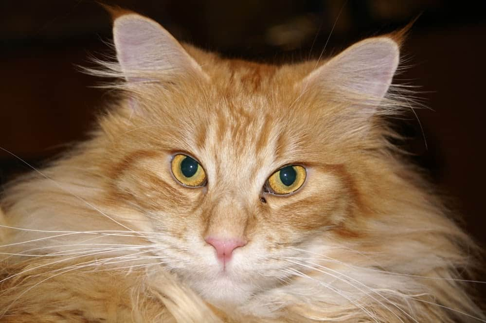 Close up of a Maine Coons face