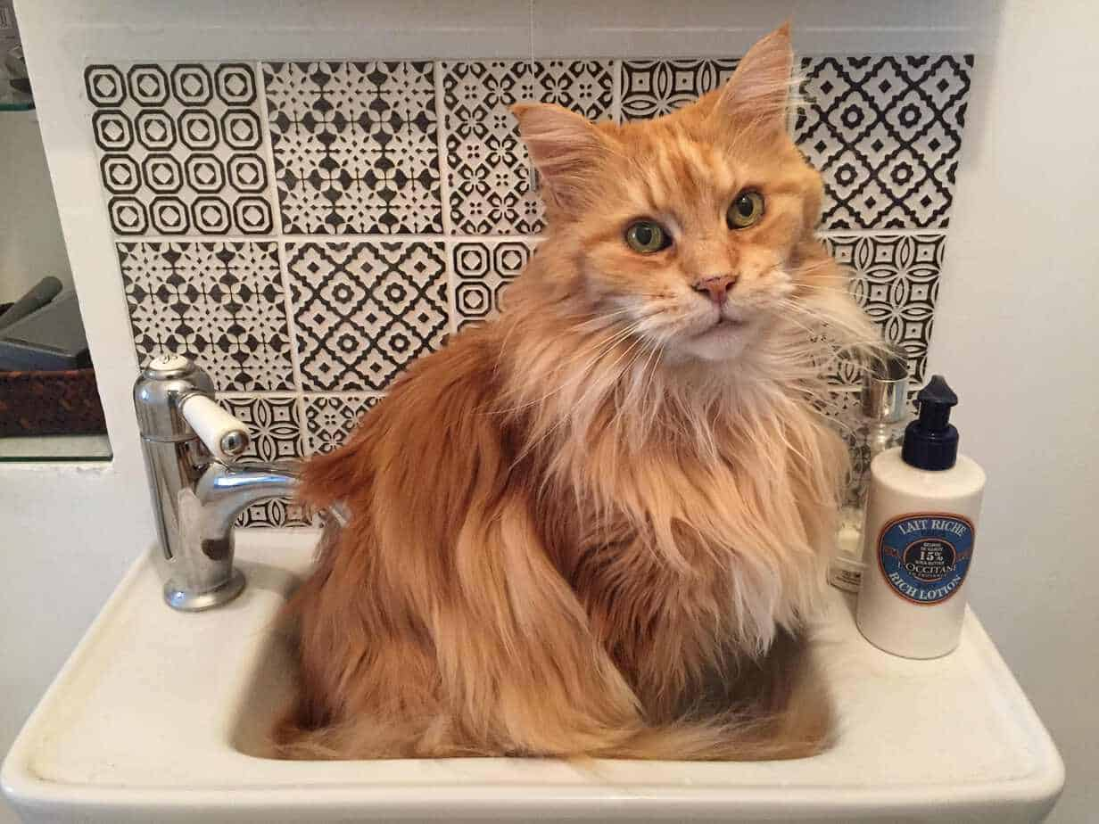 Red Maine Coon in a Basin