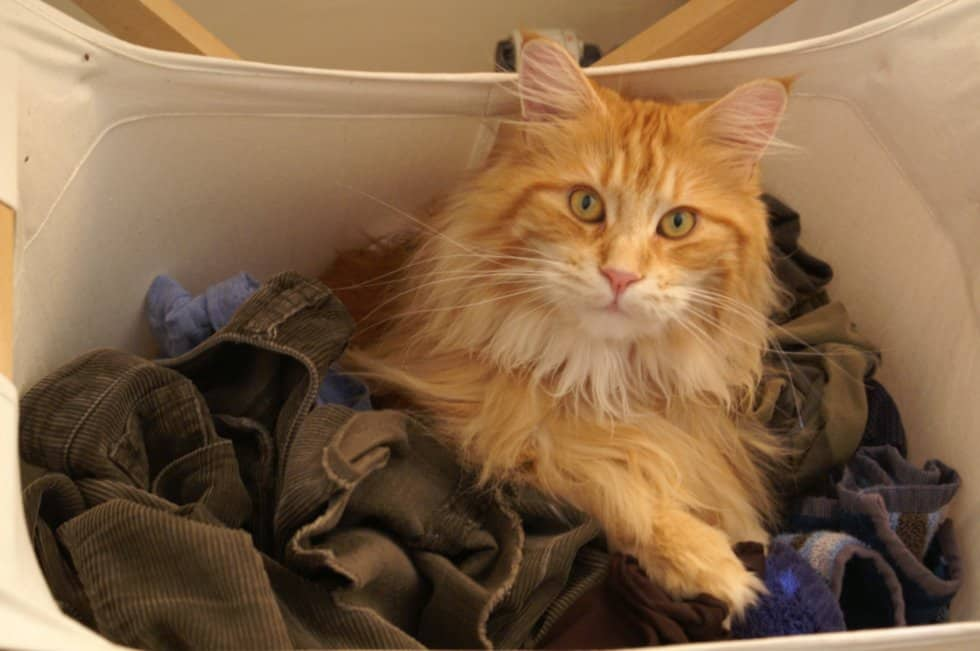 The Ginger Maine Coon All There Is To Know Pets Kb