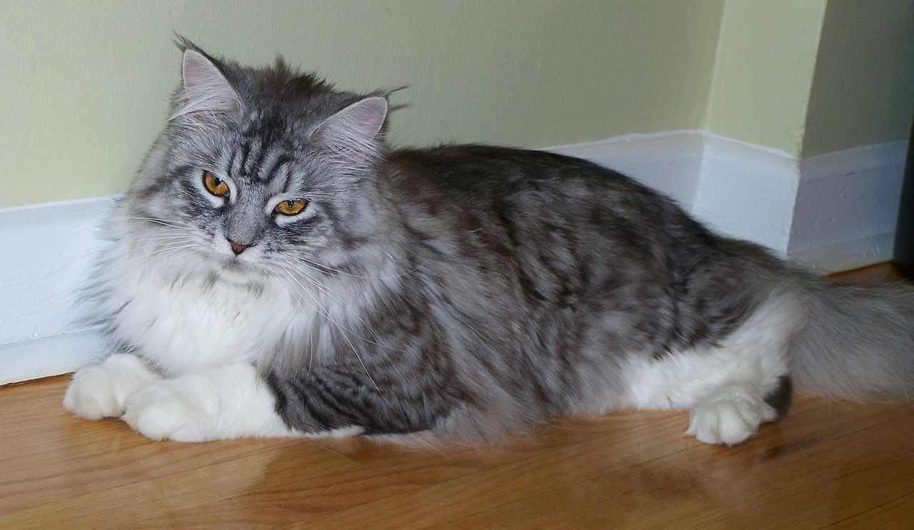 is my maine coon overweight