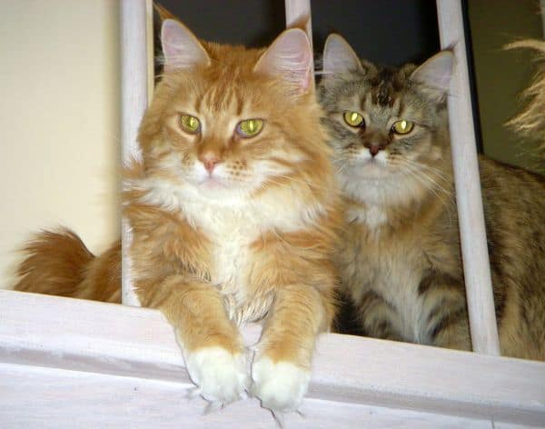 Top 40 Awesome Names For Twin Maine Coon Cats