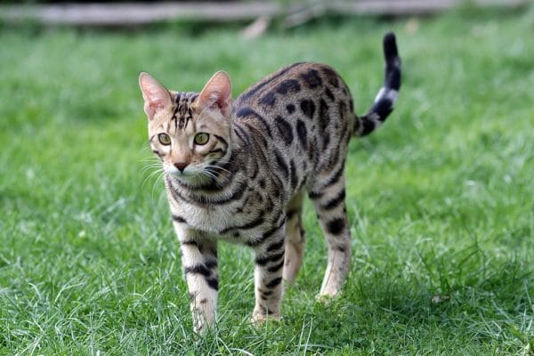 Are Bengal Cats Nice?