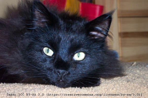 A young solid black Maine Coon with orange eyes.