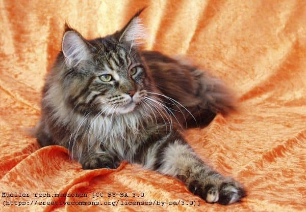 What Colors Do Maine Coon Cats Come In?
