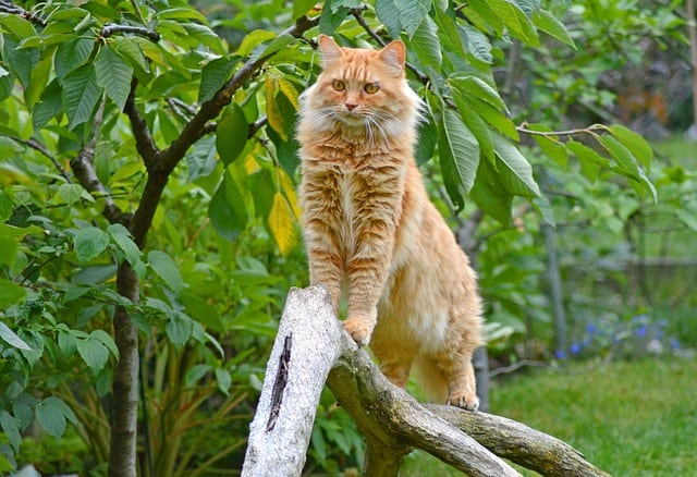 Do Maine Coons Live in the Wild?