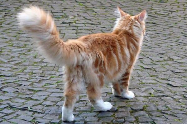 When Do Maine Coons Start Spraying?