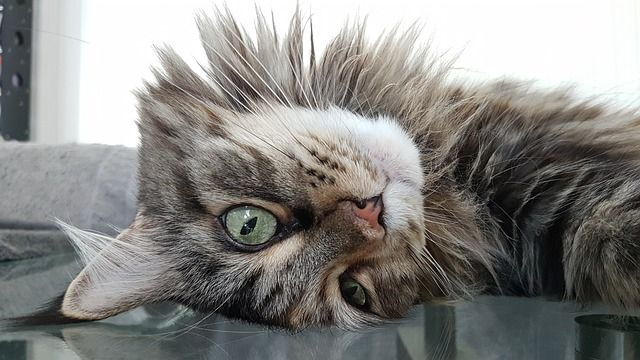 Maine Coon upside down.
