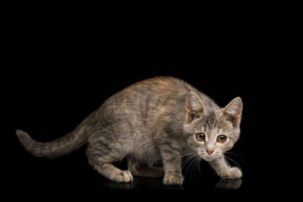 Cute Kitten on Isolated Black Background