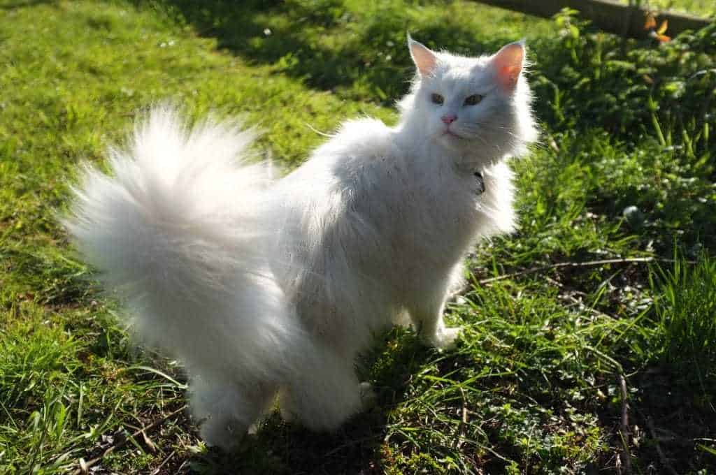 A white Maine Coon who had to have half of his long tail amputated after it was broken.