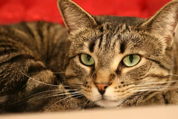 Green-eyed mackerel tabby cat