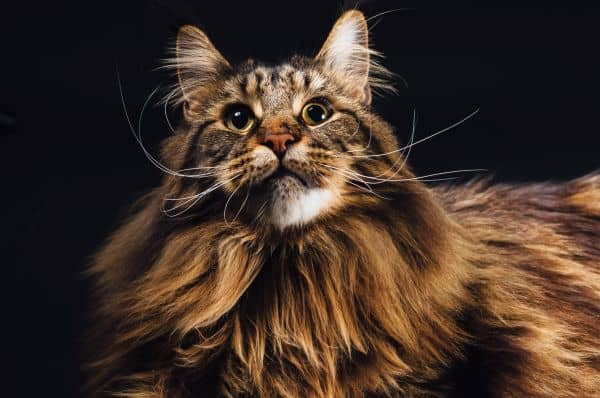 The brown tabby Maine Coon coat contains some black fur.