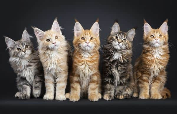 Five Maine Coon Tabby Kittens