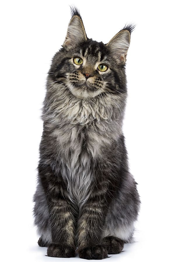 Tabby Maine Coon: Sitting cat