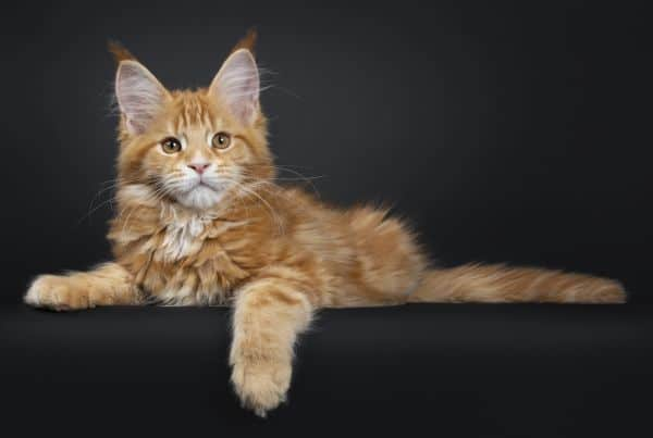 Red Mackerel Tabby Maine Coon kitten