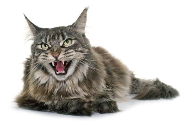 Ticked Tabby Maine Coon