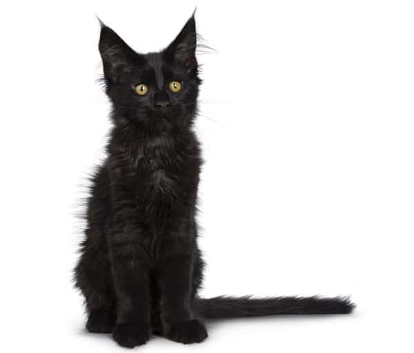 Black Maine Coon kitten looking worried