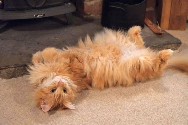 Red Maine Coon belly up