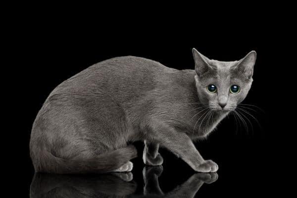 Russian blue cat crouching