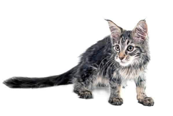 Shy Maie Coon kitten