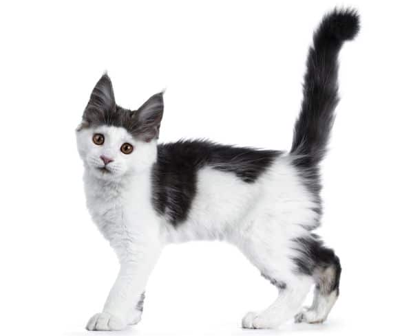 black and white Maine Coon kitten