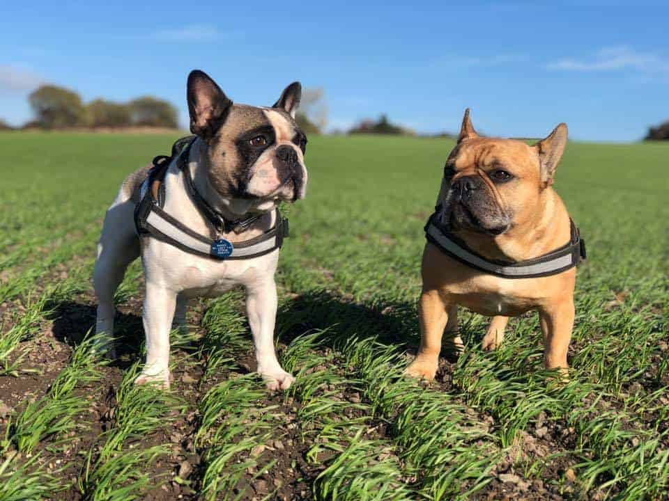 Cost Of Owning A French Bulldog