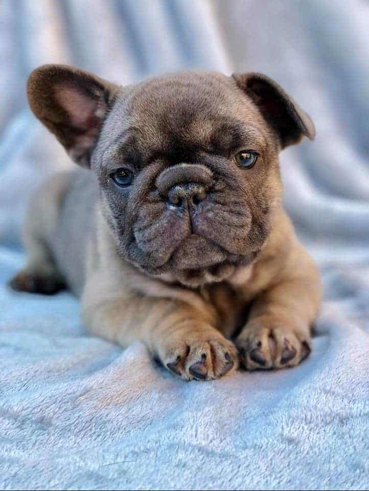 Why is the French Bulldog so Expensive?