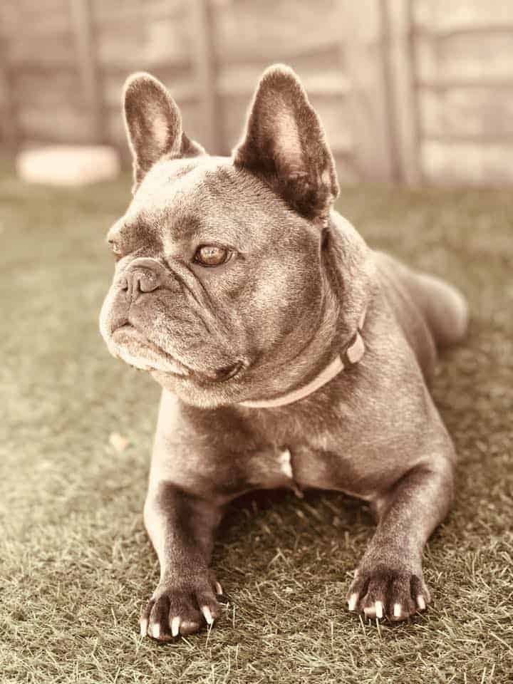 How Are French Bulldogs Made?