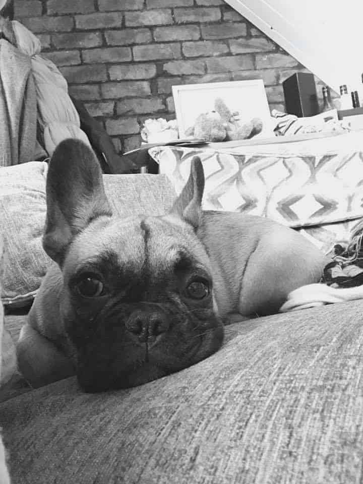 Things To Know Before Buying a French Bulldog