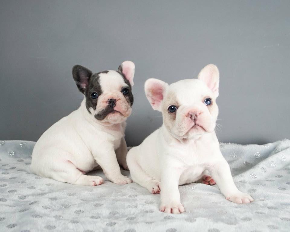 Two French Bulldog puppies