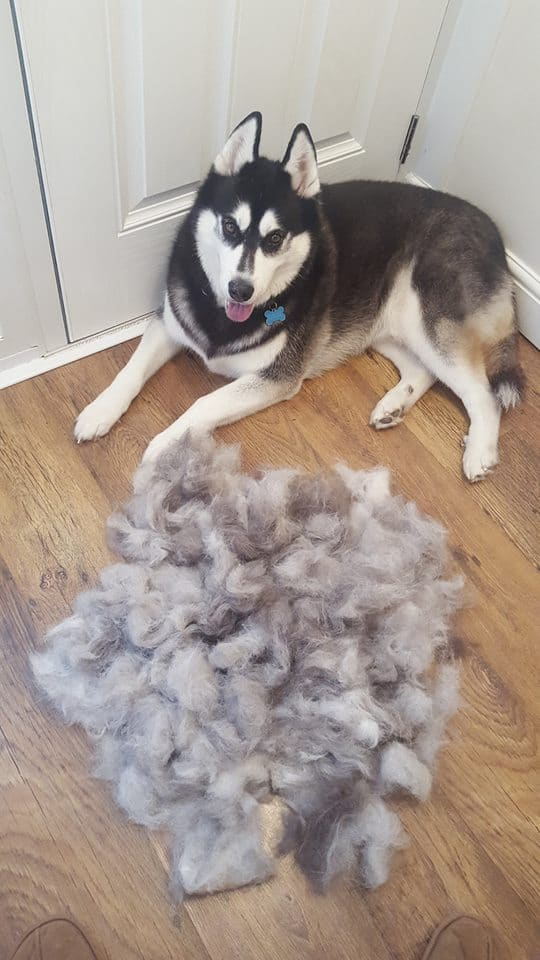 Why Is My Siberian Husky Losing Hair?