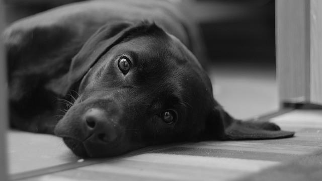 Do Labrador Retrievers Bite?
