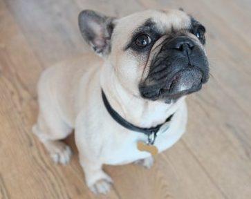 French Bulldog sitting up