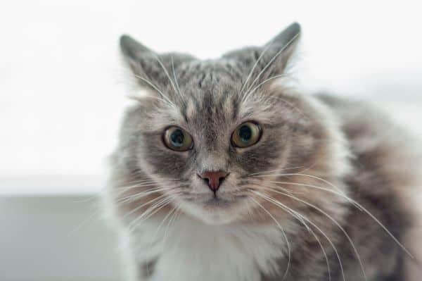 cat with ears sideways