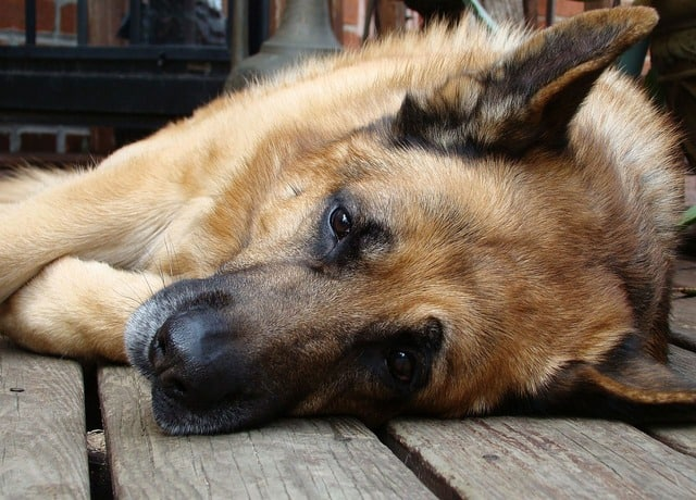 Ways to Tell That Your Dog Is Depressed