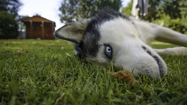 Ways to tell your Siberian Husky loves you