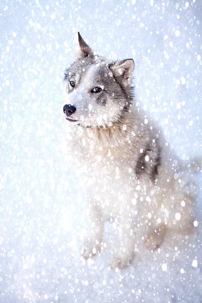 Can Siberian Huskies Get Cold?