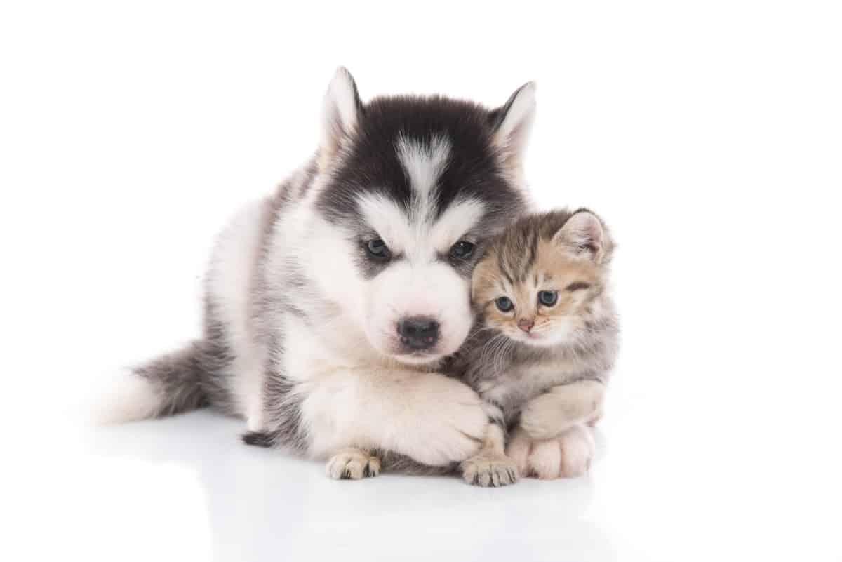 Husky and kitten