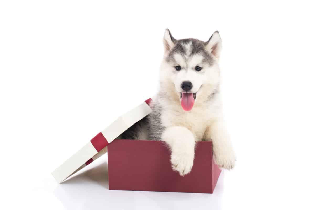 Siberian Husky pup in gift box