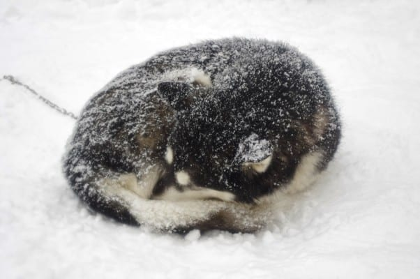 Can Siberian Huskies Get Cold?