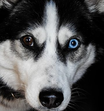 Why Does My Siberian Husky Have Red Eyes?