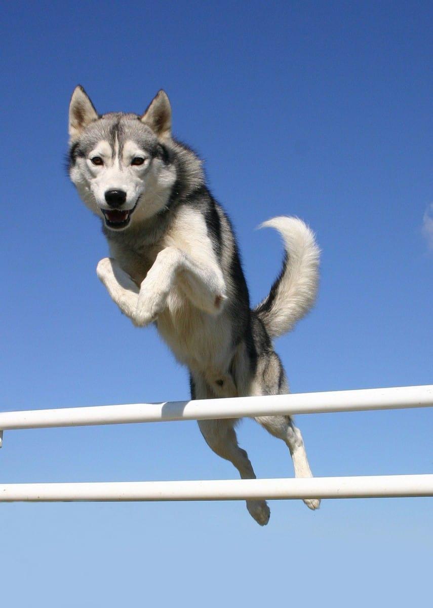 Do Siberian Huskies Attack Humans?