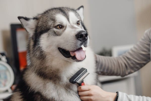 Why Does My Siberian Husky Smell Bad?