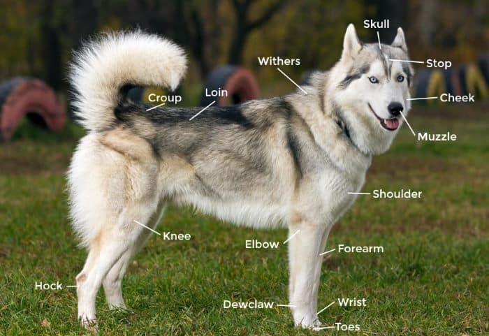 Siberian Husky Complete Guide