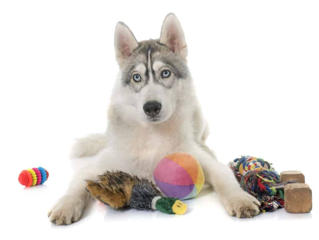 Husky with toys