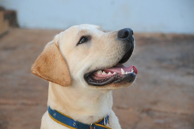 Head of Labrador Retriever