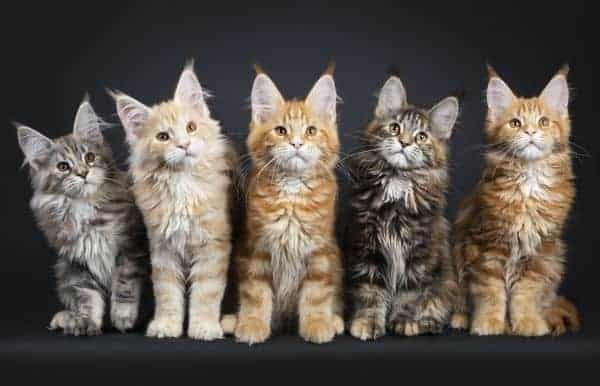 How to Choose a Breeder for Maine Coons