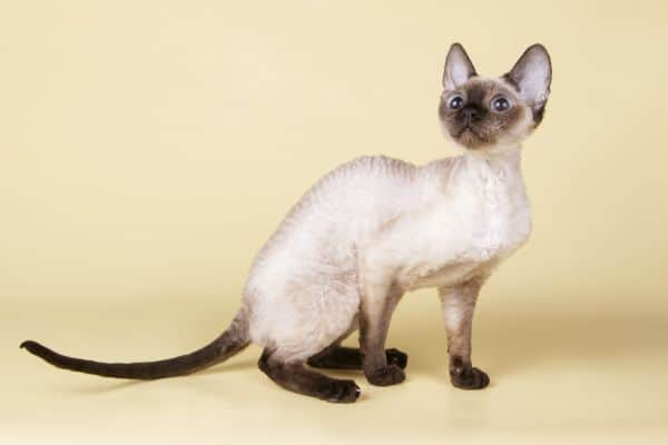 Why is my Siamese Cat so small? Modern Siamese