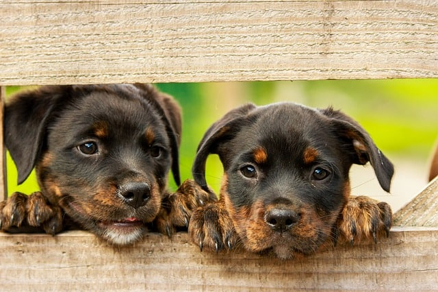 Two dogs looking through fence