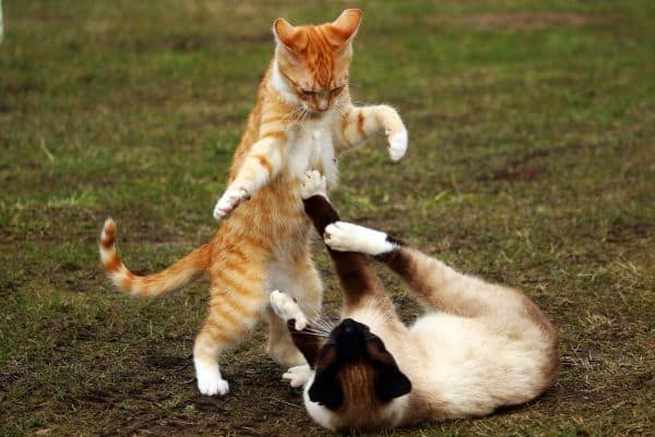 Are Siamese Cats Mean? Cat spat