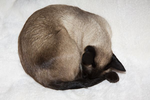Can Siamese Cats Go Outside? Curled up cat
